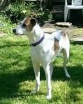 Cassie (Lurcher SOS, fostered Essex)