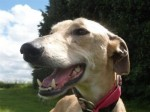 Fanny (Greyhound Rescue West of England, Somerset)