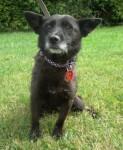 Livia (Chilterns Dog Rescue Society, Herts)