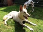 Sykes (All Animals Rescue and Rehome, Essex)