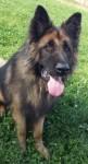 Benson (Cefni German Shepherd Rescue, South Yorkshire)