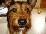 Bobby (Friends of the Animals RCT, fostered South Wales)
