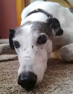 buddy greyhound 2