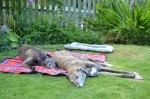 Goldie & Bonnie (Scottish Greyhound Sanctuary, Central Scotland)