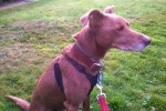 Miss Coco (Evesham Greyhound and Lurcher Rescue,Worcestershire)