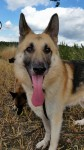 Shadow (CEFNI German Shepherd Rescue, fostered Stafford)
