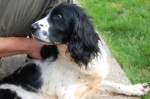 Jesse (Pro Dogs Direct, fostered Essex)