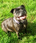Prada (Chilterns Dog Rescue Society, Herts)