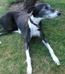 Tara (Greyhound Awareness League, fostered Falkirk)