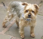 Teddy (A1 Small Dog Rescue, Gloucestershire)