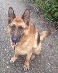 Blaze (CEFNI German Shepherd Rescue, kennelled in Derbyshire)