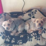 Pepsi and Toby (Helping Pets North East, Newcastle upon Tyne)