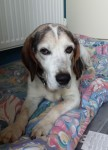 Bob the Beagle (Oldies Club, fostered East Sussex)