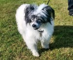 Cute Chinese Charlie (Oldies Club, fostered South Yorkshire)