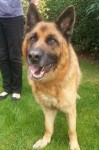 Digger (Cefni German Shepherd Rescue, Derbyshire)
