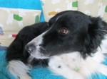 Lovely Luli, the footballing collie (Oldies Club, fostered Merseyside)