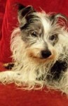 Scruff (Angels Animal Rescue, fostered East Midlands)