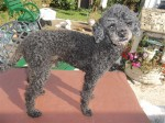 Budley (Poodles in Need, fostered Suffolk)
