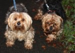 Chiko and Sky (Pro Dogs Direct, fostered Kent)