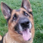 Petra (CEFNI German Shepherd Rescue, Nottinghamshire)