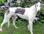 Bandit (Kerry Greyhounds, kennelled Norfolk)