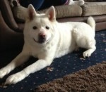Casper (Friends of the Akitas, fostered West Yorks)