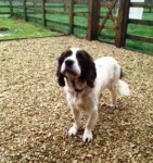 Jerry (Ardley Rescue Kennels, fostered Bucks/Oxon border)