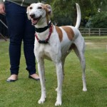 Roco (Greyhound Rescue West of England, Hertfordshire)