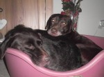 Becky & Phoebe (Labrador Rescue South East and Central, fostered Buckinghamshire)