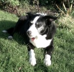 Border Collie Brecon! (Oldies Club, fostered Gloucestershire)