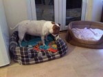 Chico (Action Aid for Animals, fostered Surrey)