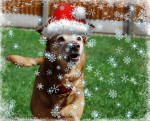 Snuggly Sandy Santa Paws (Oldies Club, fostered Nottingham)