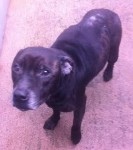 Buster (Private rehoming, kennelled Manchester)
