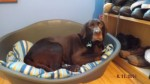 Chip the Choccie, full of beans (Oldies Club, fostered Milton Keynes)
