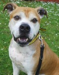 Harvey (Dogs Trust West Calder, Scotland)