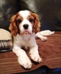 Ollie (Pro Dogs Direct, fostered Stockton-on-Tees)