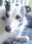 Benny (Lurcher Link, fostered in Nottinghamshire)