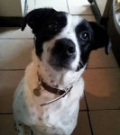 Mottled Missy Moo-moo! (Oldies Club, fostered Merseyside)