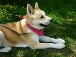 Shira (Friends of Akitas Trust, West Midlands)