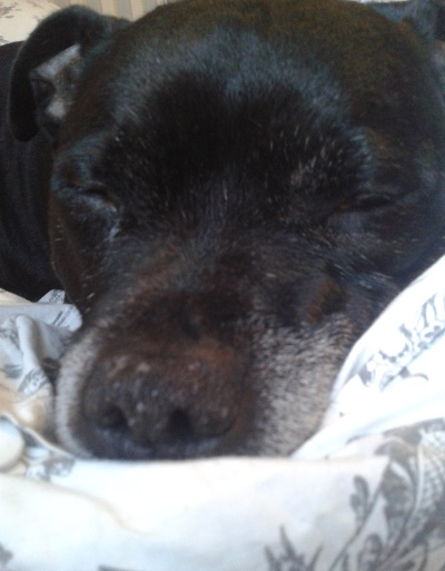Sofa-loving Simba! (Oldies Club, fostered Gloucester)