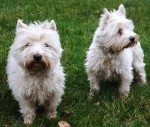 Sam and Molly (Chilterns Dog Rescue Society, Herts.)