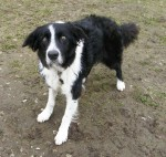 Buster (Freedom of Spirit Trust for Border Collies, West Yorks)
