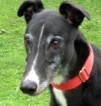 Star (Kerry Greyhounds, fostered Norfolk)