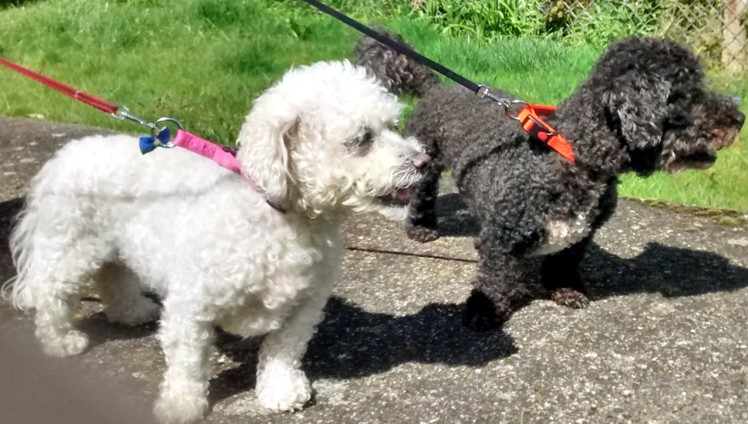 Snowie and Tippie (Pro Dogs Direct, fostered Kent)