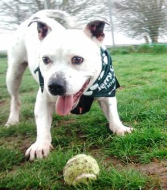 Bobby (Jerry Green Dog Rescue, Lincolnshire)