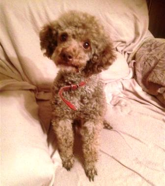 Percy (Poodles in Need, fostered Suffolk)