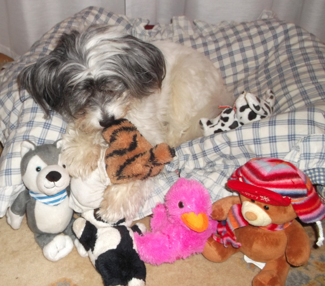 Charlie, Chinese Crested, Oldies Club, sponsor dog, toys