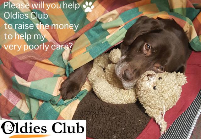 Oldies Club, dog rescue, fundraising, chocolate Labrador, Labrador