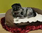 Rehomed oldie Sam has trimmed up his bed and is waiting for Santa!