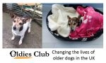 Oldies Club, Patch, Just Giving, JRT, rescue dog